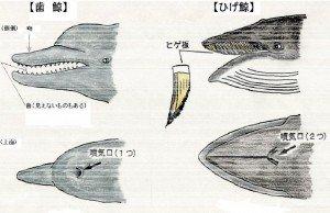 座礁クジラ処理マニュアル